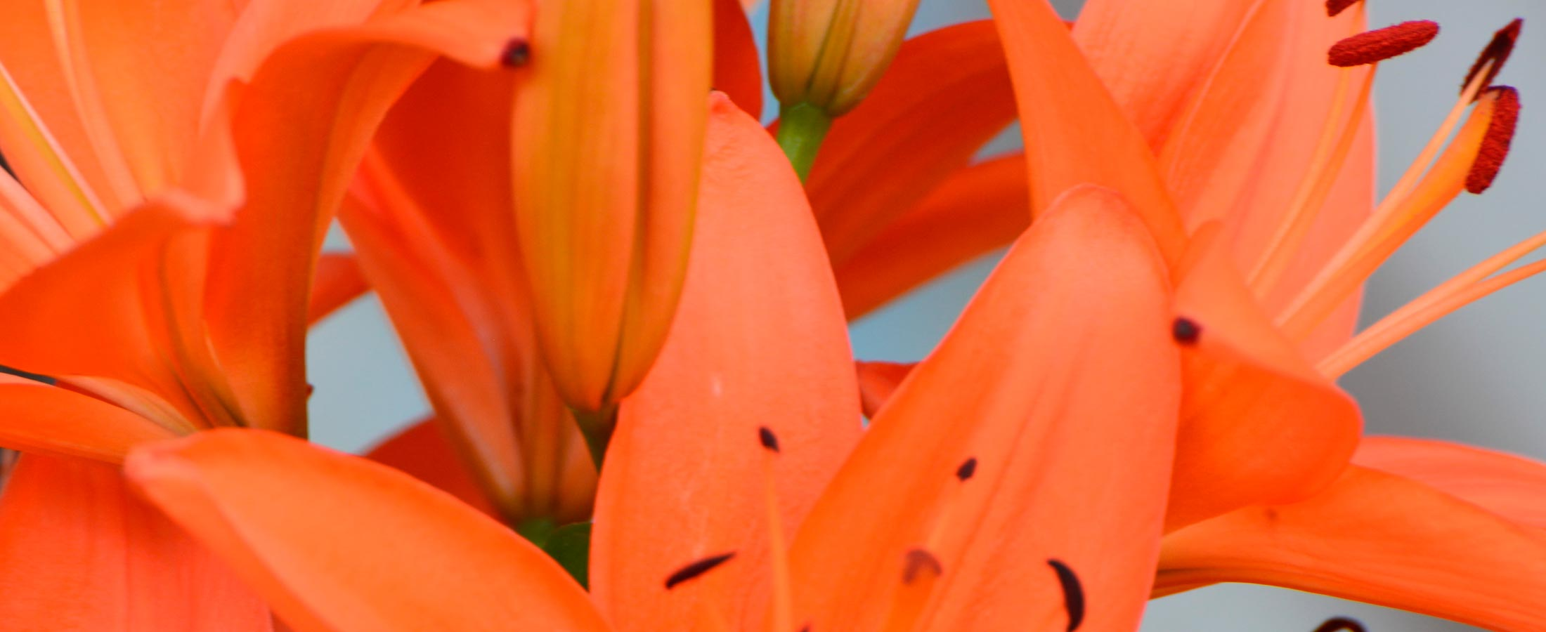 lilies-banner